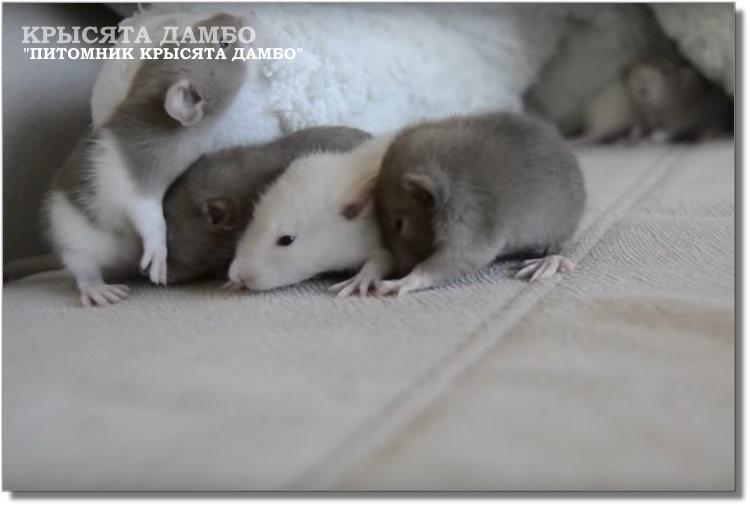 Светлые крысята Дамбо