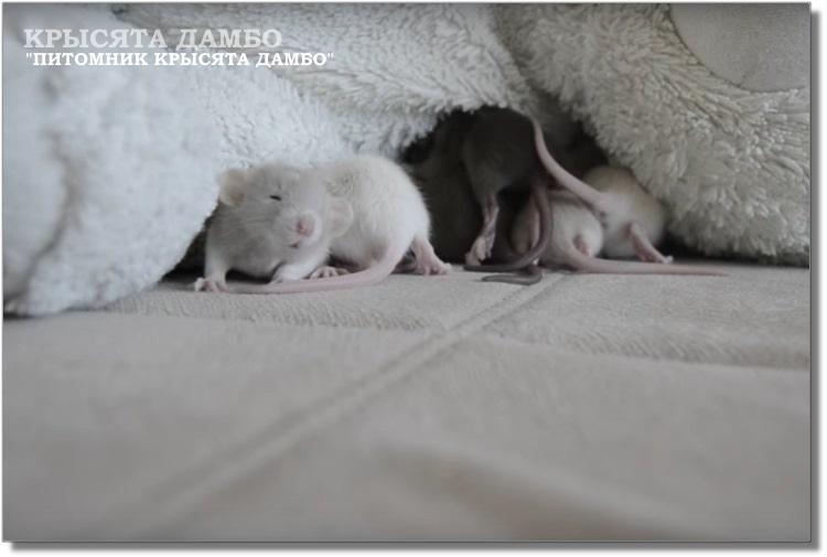 Маленькие крысята Дамбо из питомника