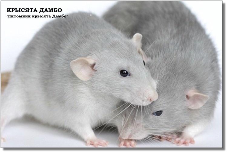 Фото крыс Дамбо