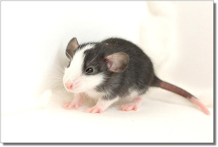 Пятнистые крысята Дамбо