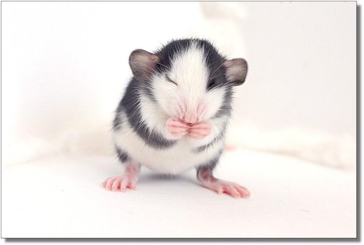 Хаски крысята Дамбо