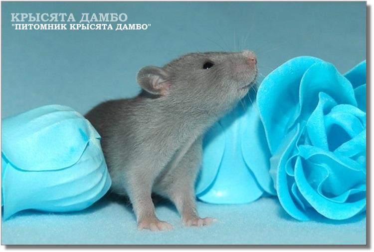 Фото крысята Дамбо