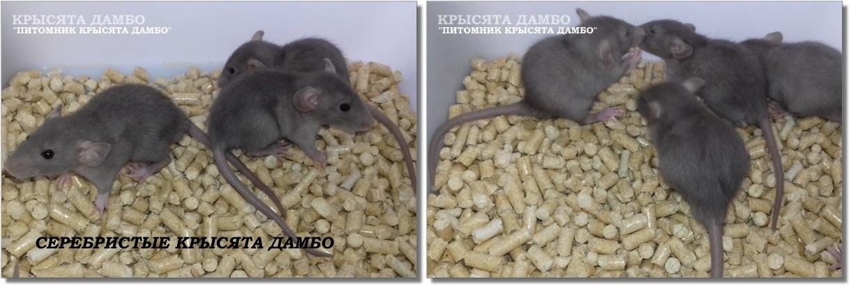 Фото крысят Дамбо окраса Серебро