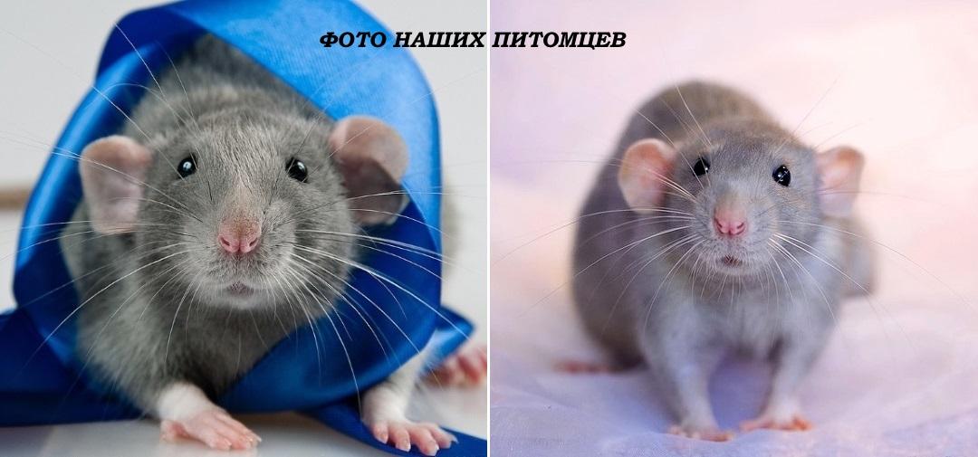 Всё о крысах! Фото голубых крысят Дамбо