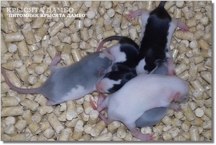 Хаски крысята. Питомник Дамбо