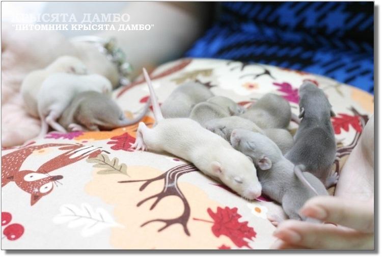 Разного окраса крысята Дамбо