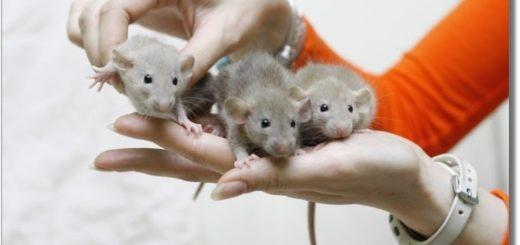 Фото декоративных крысят Дамбо