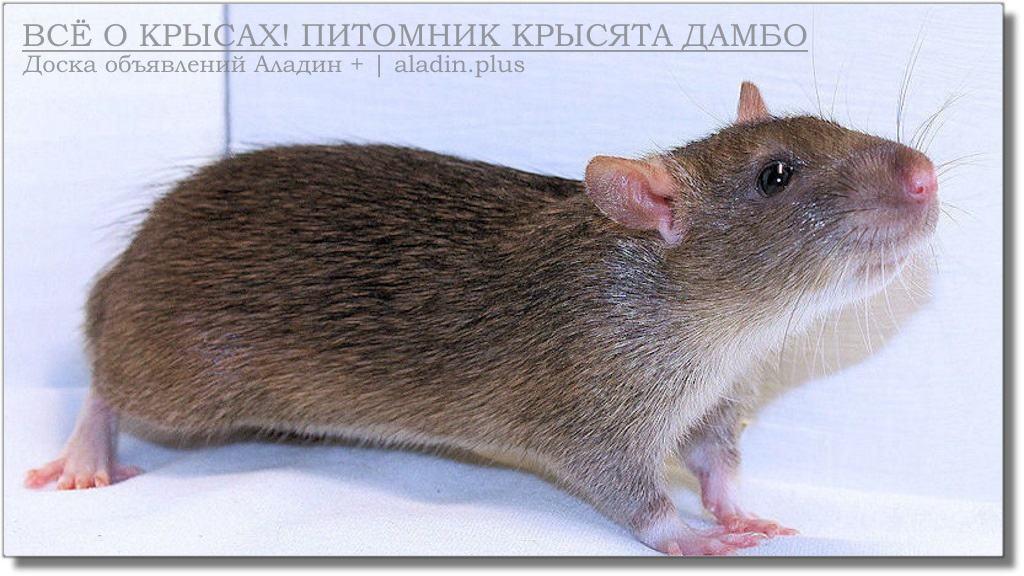 Бесхвостые декоративные крысы
