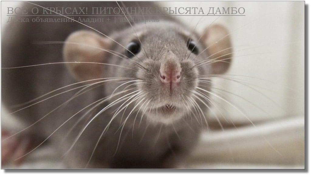 Мы выбирали крысу Дамбо