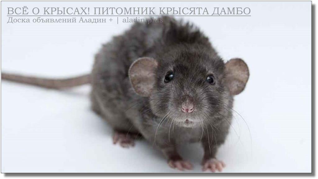 Пуховые крысы фазз декоративные