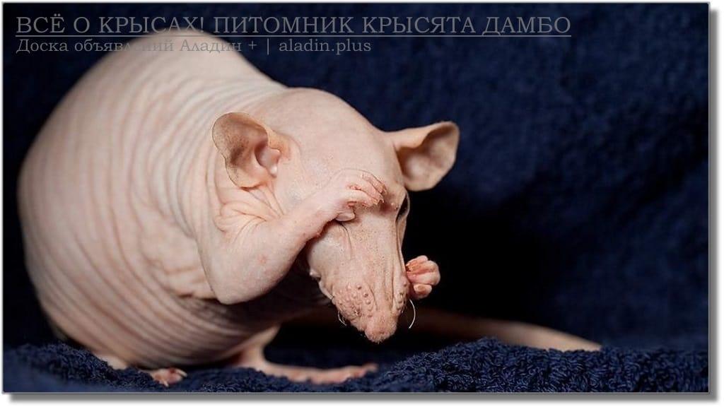 Декоративная домашняя порода крысы Сфинкс