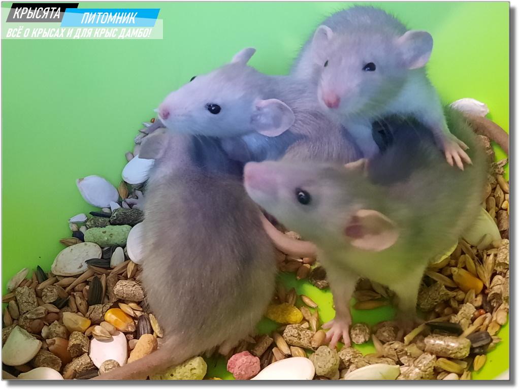 Фото крысят Дамбо