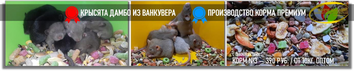 Купить крысу и крысят в Москве — зоомагазин, питомник Дамбо!